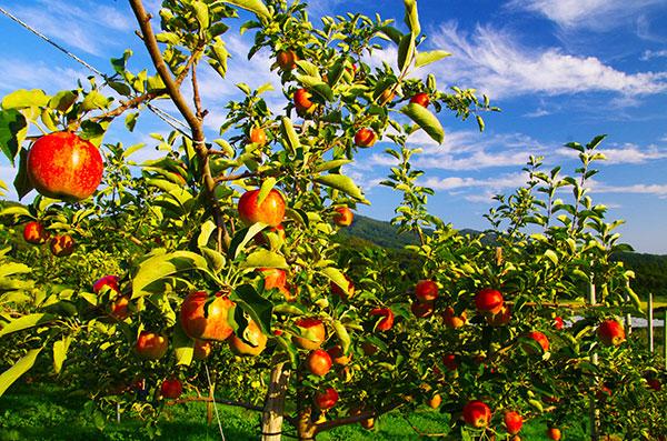 宇都宮果樹園のりんご畑