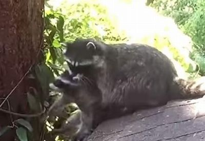 Mother Raccoon teaches kit how to climb a tree_fc2