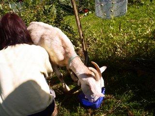 Goat-C.shibori-1