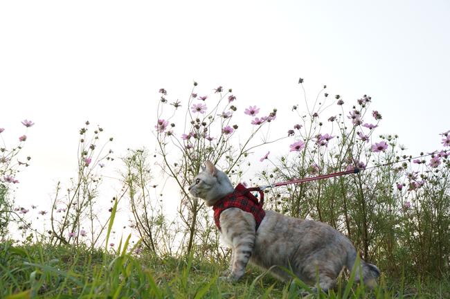 コンクール秋桜①