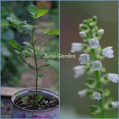 青シソの花1530
