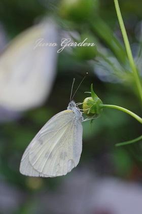 蝶2匹1505