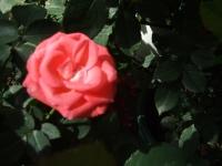 2015-09-19-秋バラ園ー041