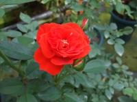 2015-09-19-秋バラ園ー076