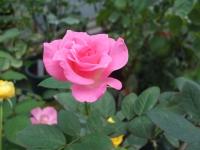 2015-09-19-秋バラ園ー086