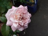 2015-09-19-秋バラ園ー105