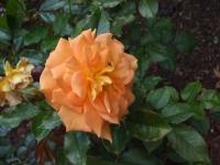 2015-09-19-秋バラ園ー120