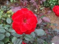 2015-09-19-秋バラ園ー126