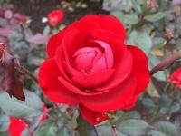 2015-09-19-秋バラ園ー127