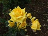 2015-09-19-秋バラ園ー142