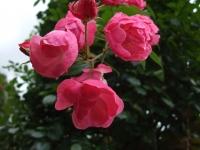 2015-09-19-秋バラ園ー146