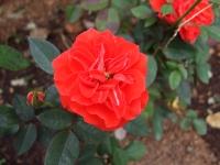 2015-09-19-秋バラ園ー151