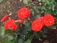 2015-09-19-秋バラ園ー150