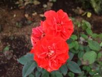2015-09-19-秋バラ園ー148