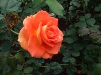 2015-09-19-秋バラ園ー156