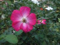 2015-09-19-秋バラ園ー048