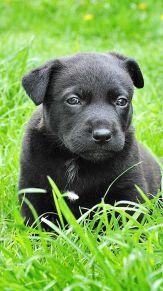 黒ラブ幼犬48404454_163x291