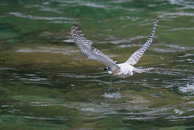 ヤマセミ魚捕り (14)