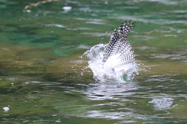 ヤマセミ魚捕り (15)
