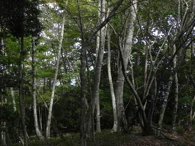 横倉山付近ブナ