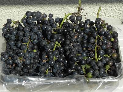 袋から出したヤマブドウ