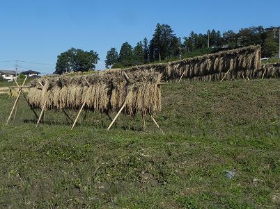 乾燥した稲束