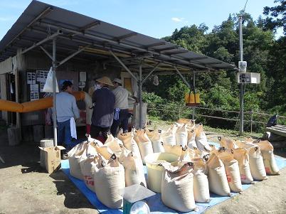 収穫した古代米
