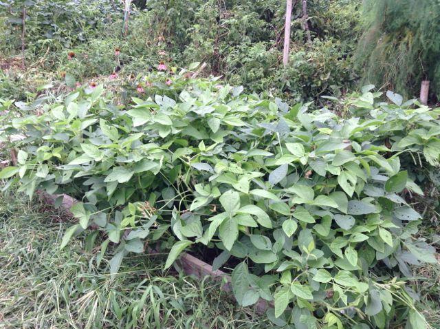 8:24・エキネシアの横の大豆