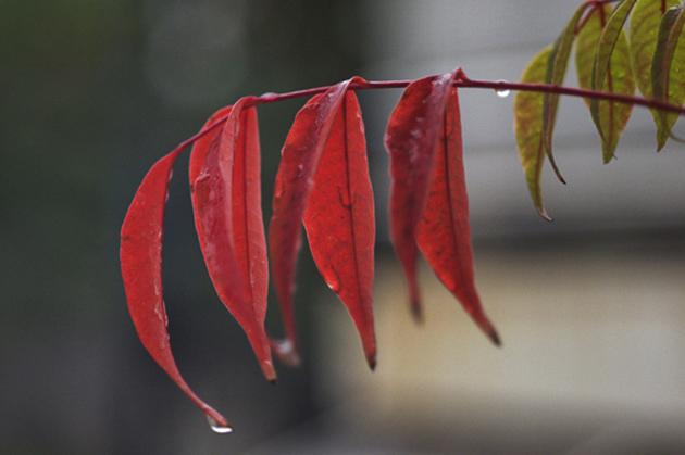 櫨の紅葉が雨に濡れて鮮やかです