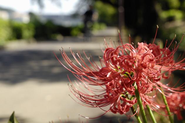 側道には彼岸花が咲いてました