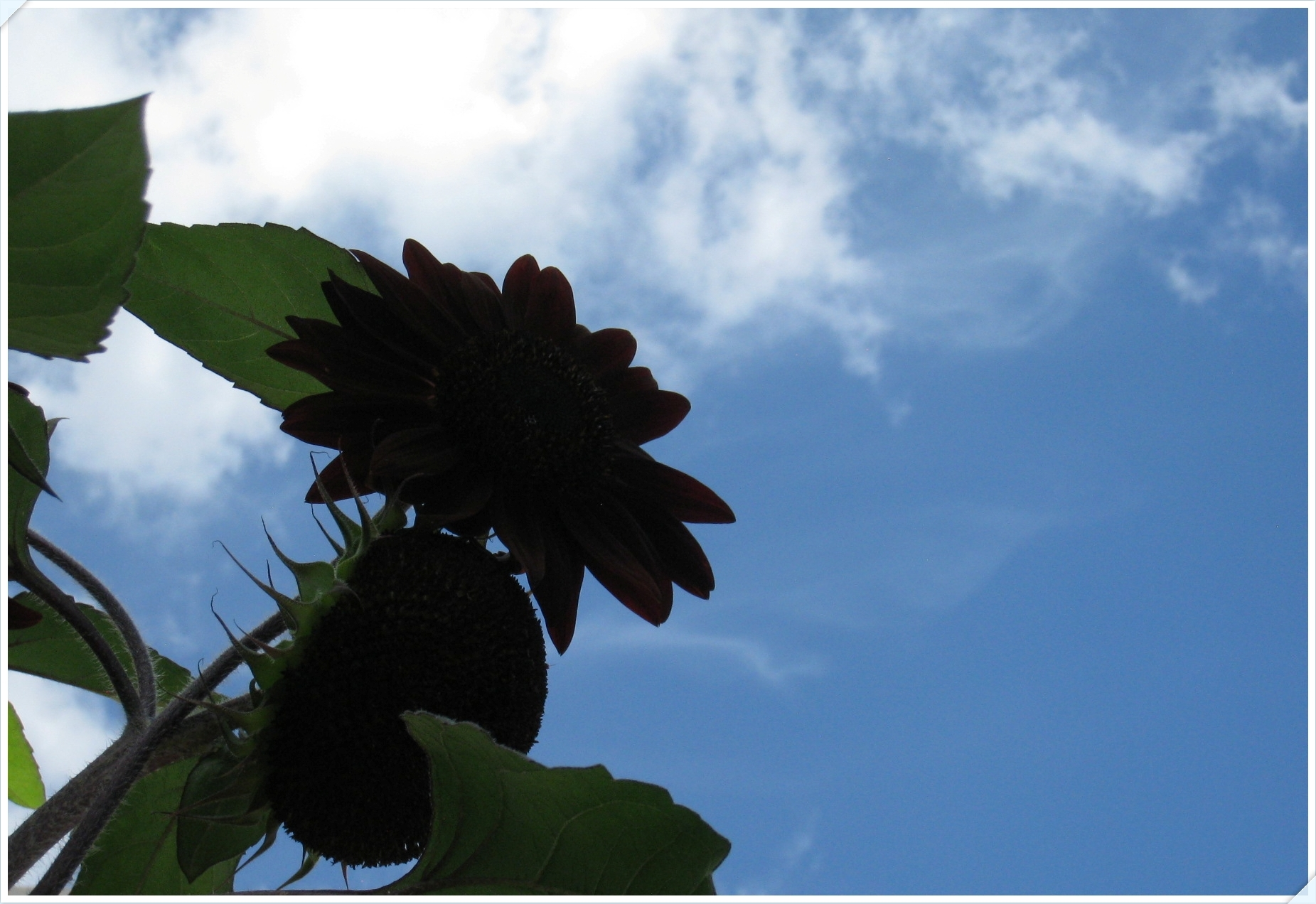 sunflower_12_905.jpg