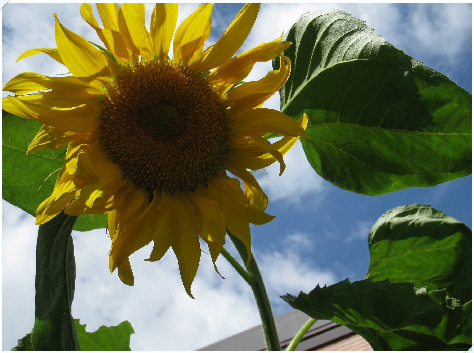 sunflower_4_905.jpg