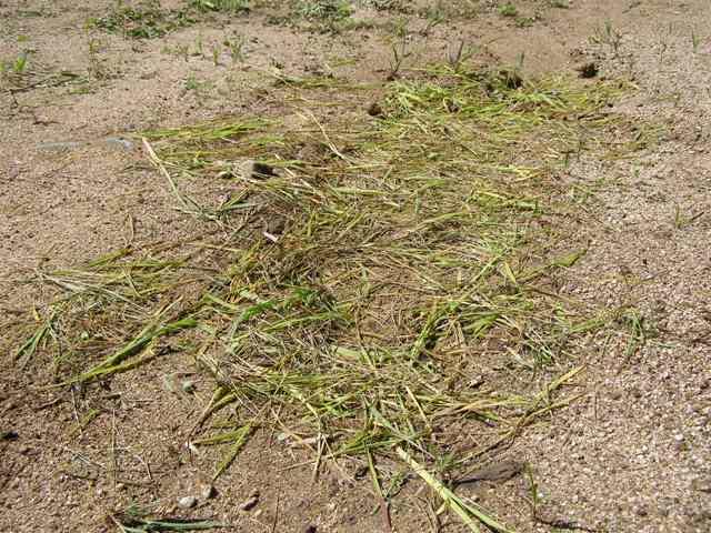 草の絨毯0826