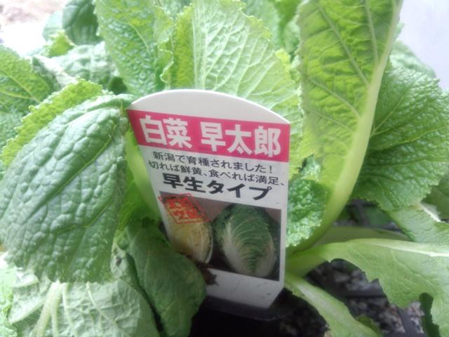白菜苗0923