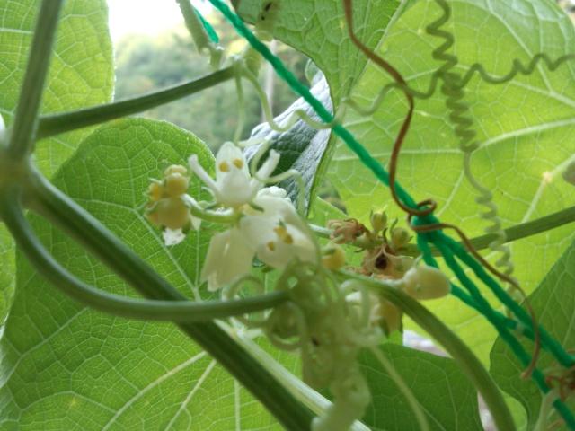隼人瓜の花0925