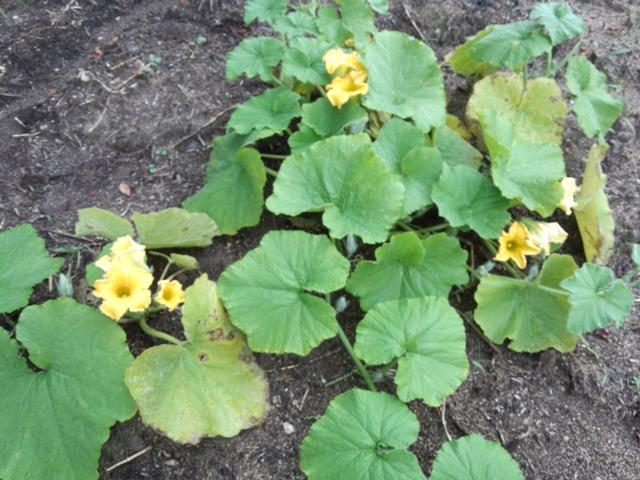 カボチャの花0925