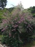 萩の花ピンク