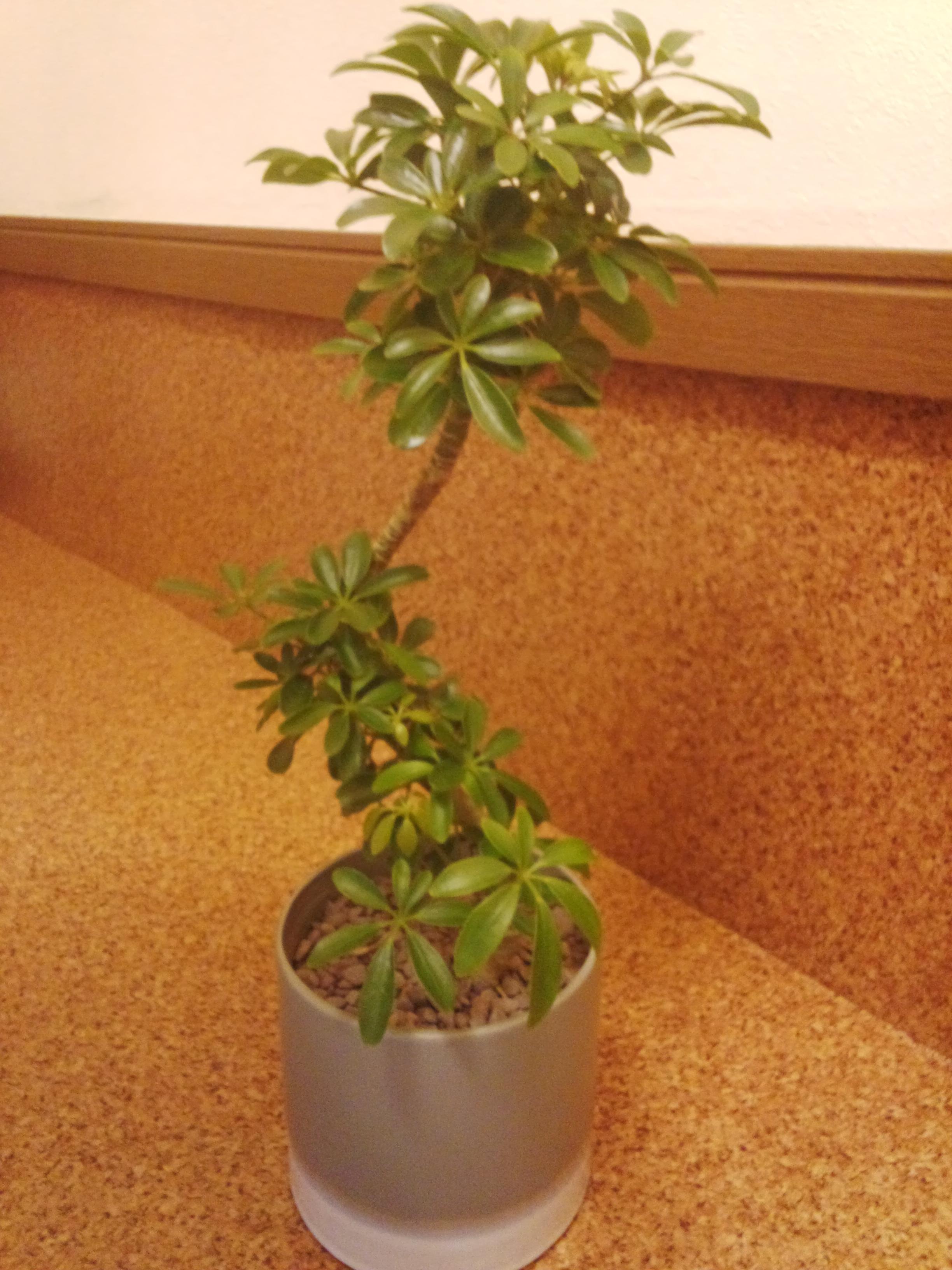 八木さんから頂いた観葉植物