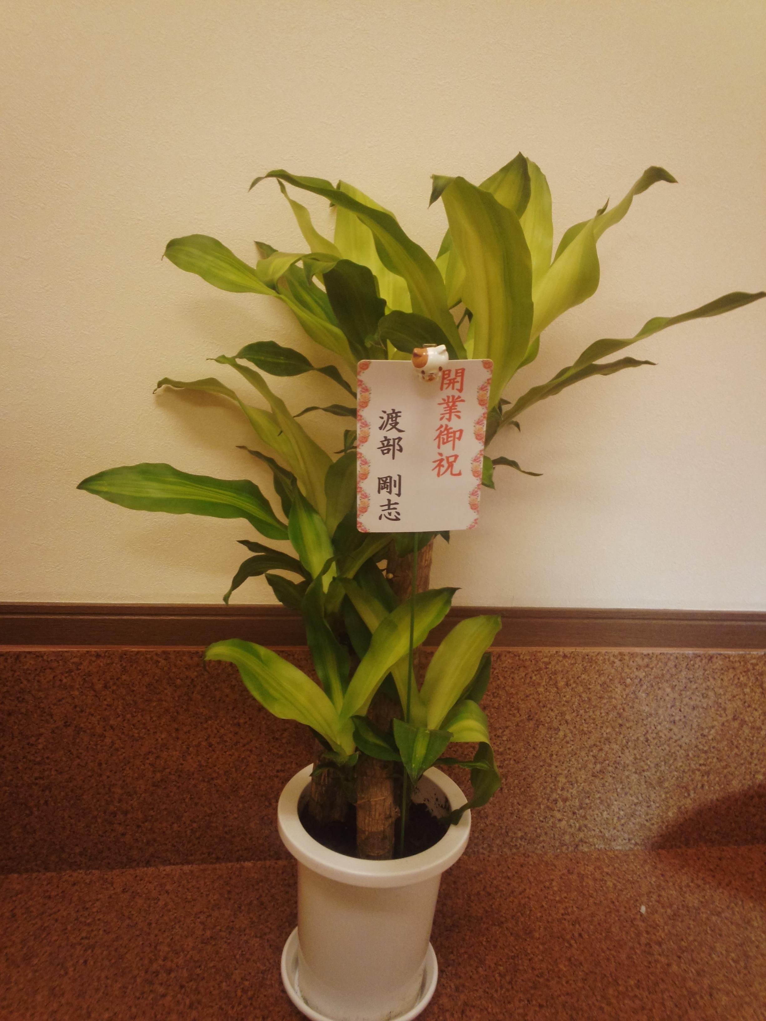 渡部さんから頂いた観葉植物