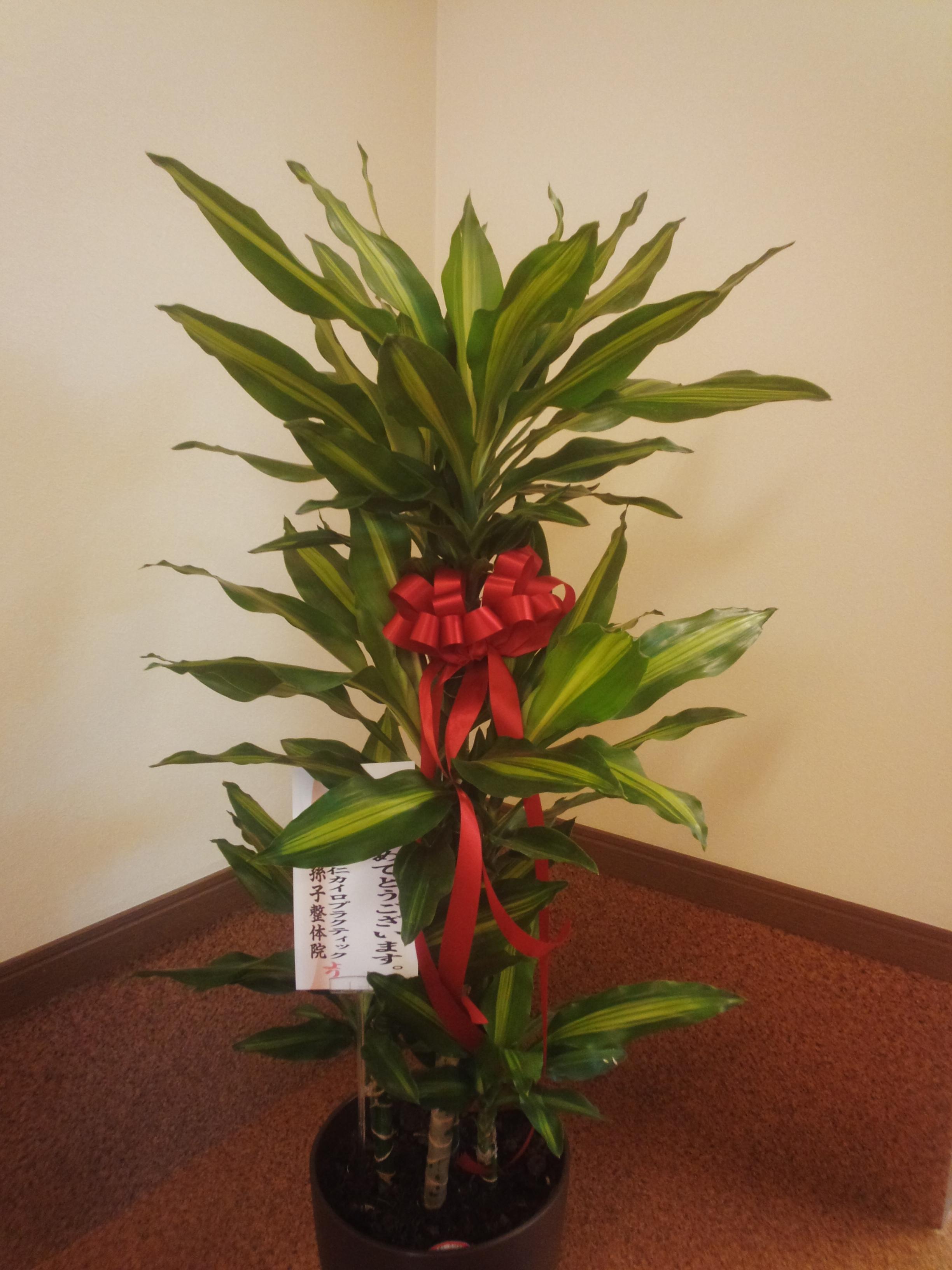 鈴木さんから頂いた観葉植物