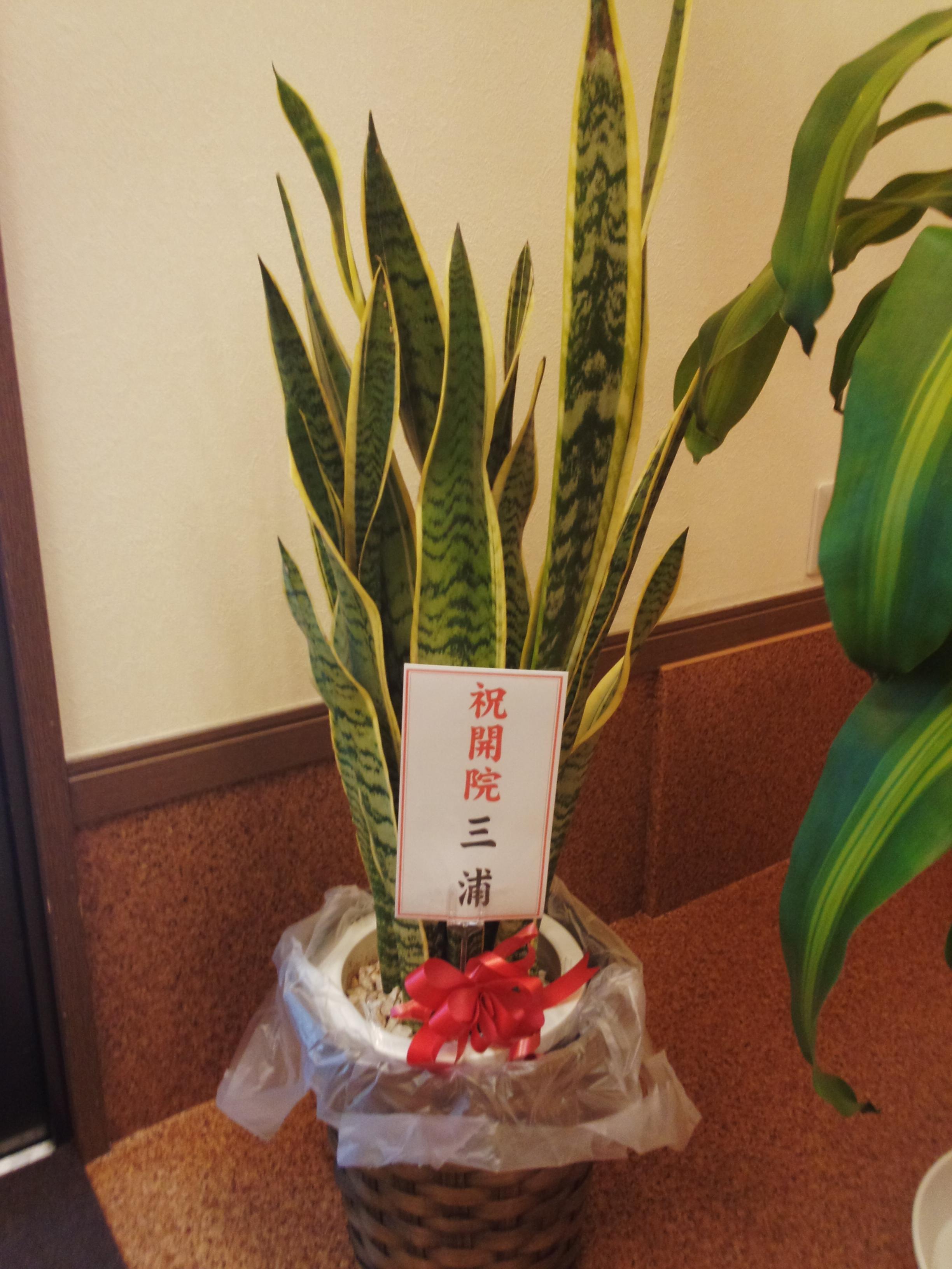 三浦先生から頂いた観葉植物