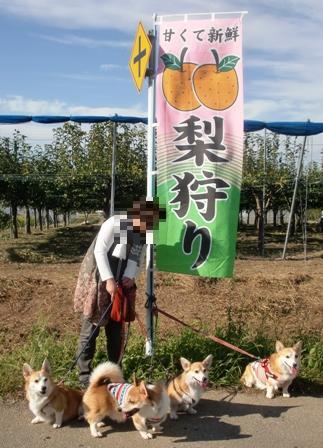 梨狩り 10