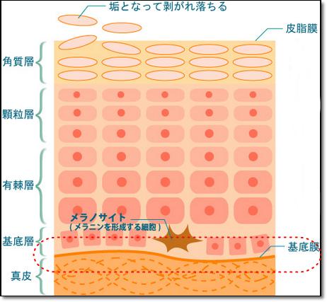 ブルークレール 基底膜