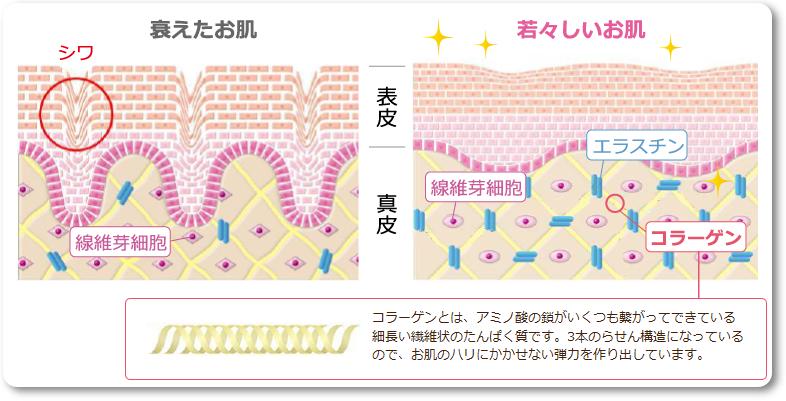 ナールスネオ 肌組織の図