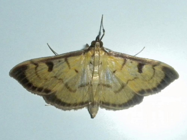 キイロフチグロノメイガ