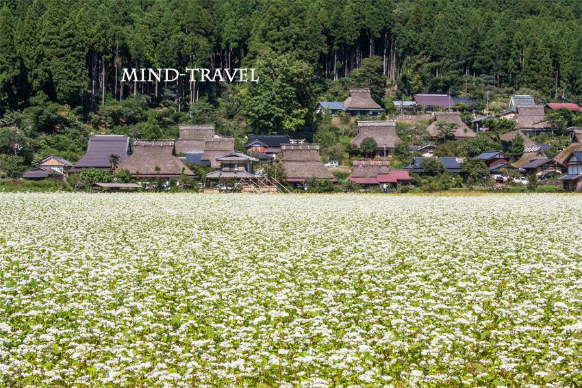 美山茅葺の里 蕎麦畑