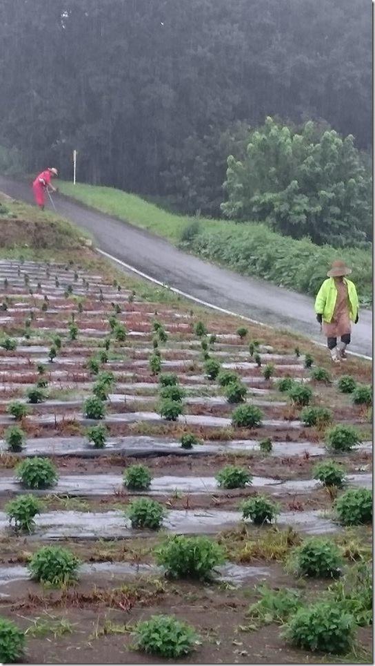 小菊の里・除草作業