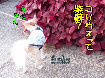 yuruiro20150920_k002