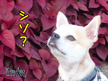 yuruiro20150920_k001