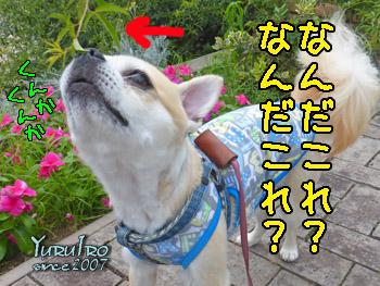 yuruiro20150901_k004
